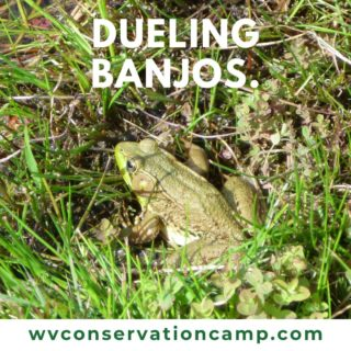 I'm a Green Frog -- no really that's my official name!  Look for me around all sorts of water -- from wetlands and streams, and even in puddles.  I can be found across West Virginia and you'll recognize my call if you hear something that sounds like loose banjo strings being plucked!  This summer, make The WV State Conservation Camp, your outdoor open door -- come learn more about amphibians and more -  June 15- 20, 2020!